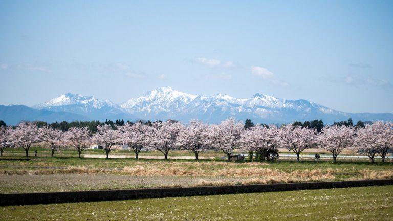 Kurayoshi Cherry Blossom